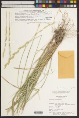Pseudoroegneria cognata image