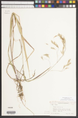Bromus lanatipes image