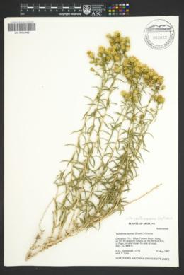 Chrysothamnus stylosus image