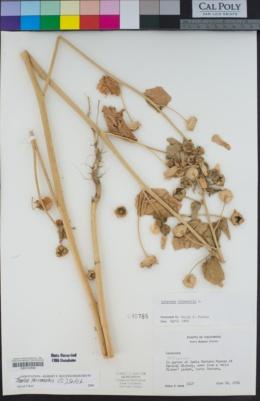 Image of Malva trimestris
