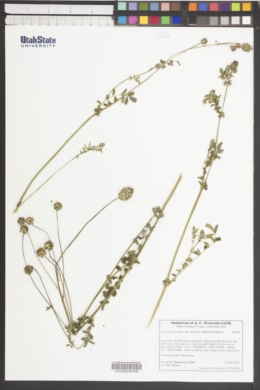 Sanguisorba minor subsp. muricata image