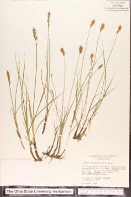 Carex praegracilis image