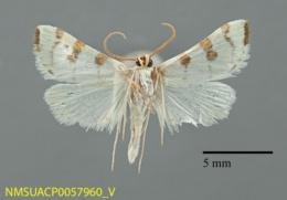 Lygropia octonalis image