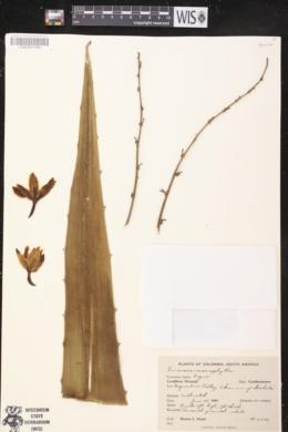 Image of Furcraea macrophylla