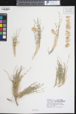 Image of Astragalus eastwoodiae