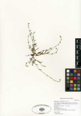 Plagiobothrys acanthocarpus image