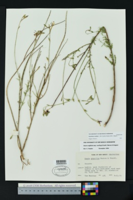 Image of Oenothera nealleyi