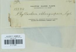 Image of Phyllachora oblongispora