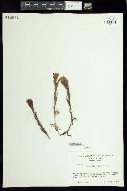 Image of Castilleja glandulifera