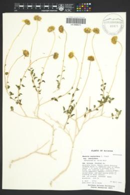 Encelia resinifera image