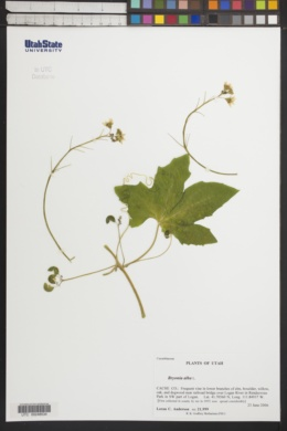 Bryonia alba image