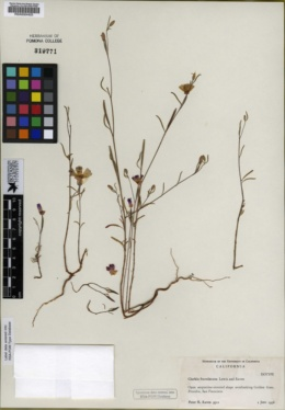 Clarkia franciscana image