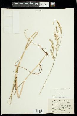 Festuca rubra subsp. arenaria image