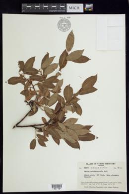 Salix pseudomonticola image