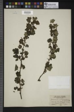 Image of Grossularia californica