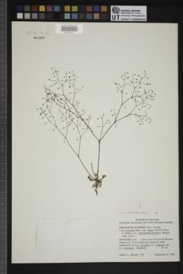 Eriogonum watsonii image