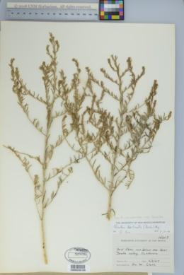 Krascheninnikovia ceratoides subsp. lanata image