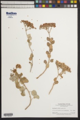 Eriogonum corymbosum var. velutinum image