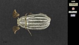 Polyphylla decemlineata image