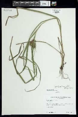 Carex lupuliformis image