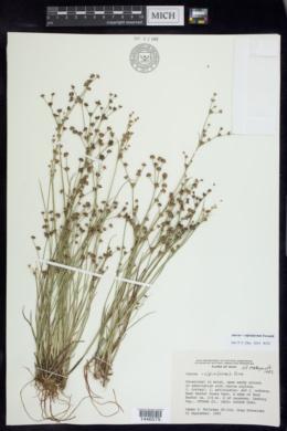 Image of Juncus x alpiniformis