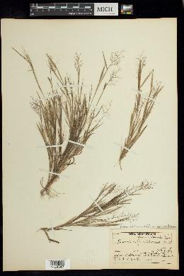 Dichanthelium ensifolium image