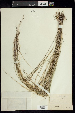 Muhlenbergia pauciflora image