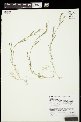Image of Lathyrus angulatus