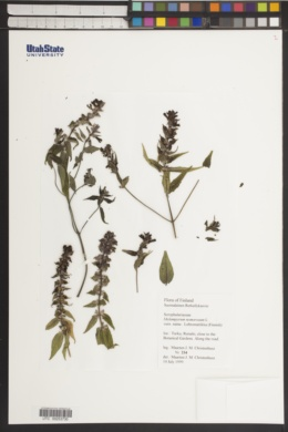 Melampyrum nemorosum image