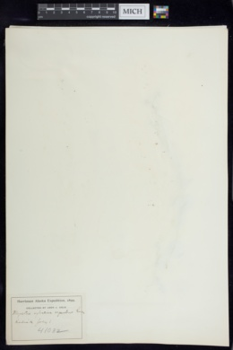 Myosotis sylvatica image
