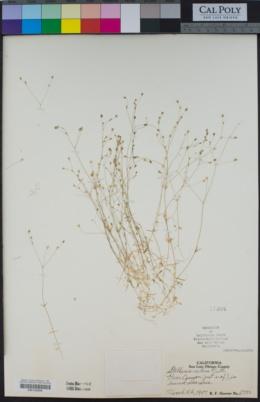 Stellaria nitens image