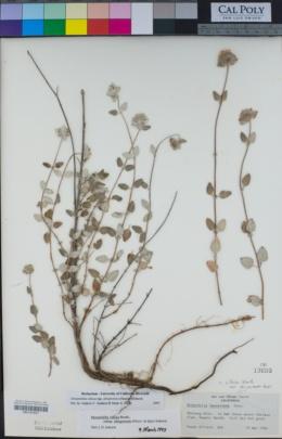 Monardella villosa subsp. obispoensis image