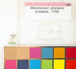 Monomorium pharaonis image