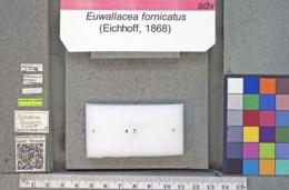 Euwallacea fornicatus image