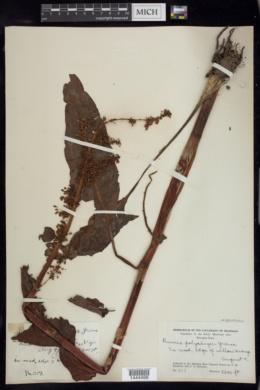 Rumex densiflorus image