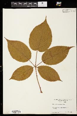 Image of Rubus ostryifolius