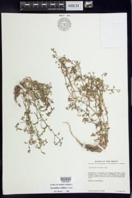 Cerastium axillare image