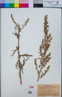 Artemisia palmeri image