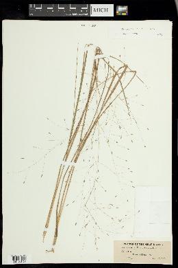 Eragrostis elliottii image