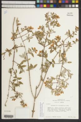 Philadelphus microphyllus var. madrensis image