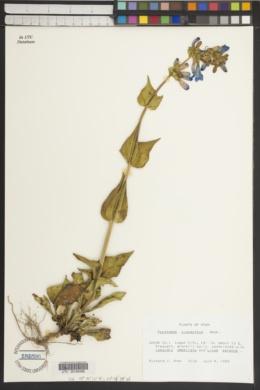 Penstemon cyananthus image