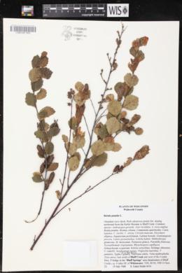 Betula pumila image