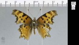 Polygonia gracilis image