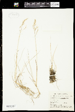Image of Calamagrostis deschampsioides