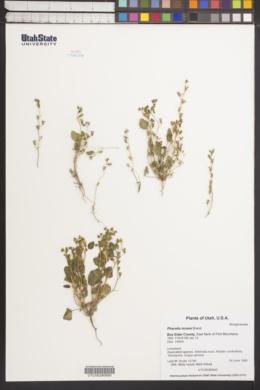 Image of Phacelia incana