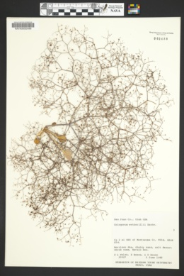 Eriogonum wetherillii image