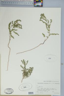 Phyllanthus abnormis image