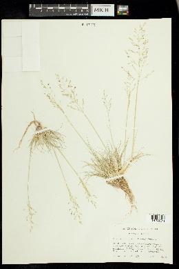 Puccinellia lemmonii image