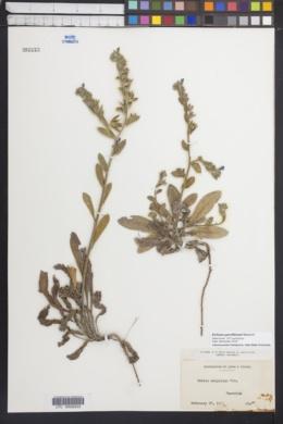 Image of Echium parviflorum