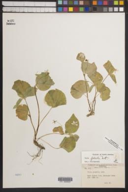 Image of Viola glabella